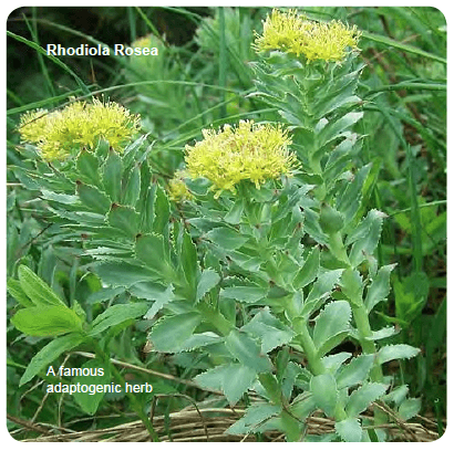 Rhodiola Rosea a key ingredient found in Quantum Adaptogen